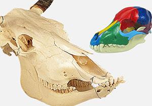 頭蓋骨標本・模型