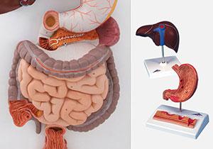 消化器・肝臓
