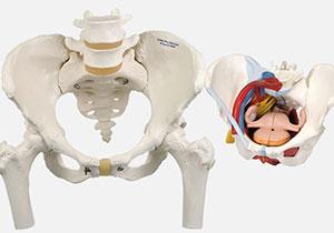 骨盤・生殖器