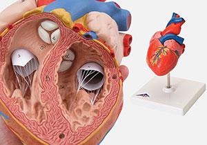 心臓・循環器