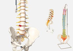 脊柱・脊椎骨