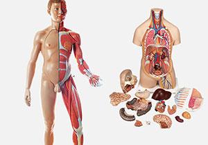 人体解剖・トルソー模型