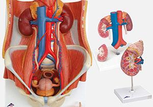 腎臓・泌尿器