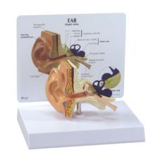 耳の断面モデル