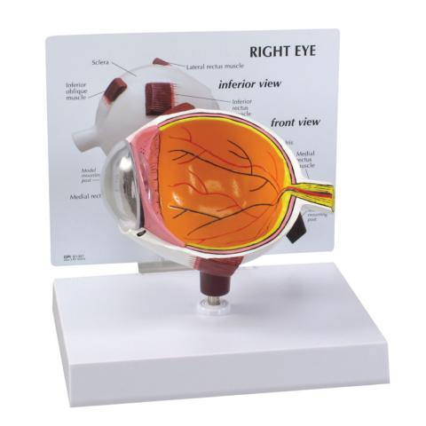 眼球断面モデル