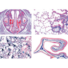 ヒトと哺乳類の組織学〜呼吸器系,英語版