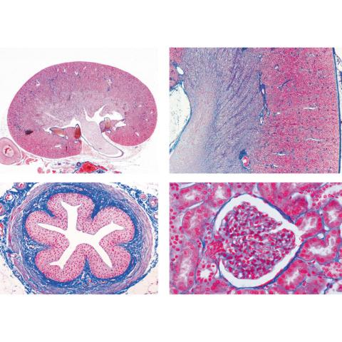 ヒトと哺乳類の組織学〜泌尿器系,英語版