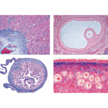 ヒトと哺乳類の組織学〜雌性生殖器,英語版