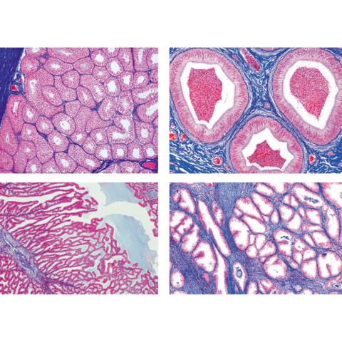 ヒトと哺乳類の組織学〜雄性生殖器,英語版