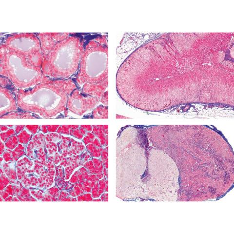 ヒトと哺乳類の組織学〜内分泌系,英語版