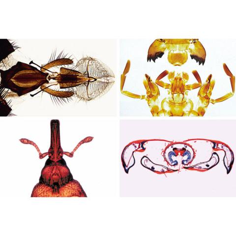 昆虫の口器,英語版