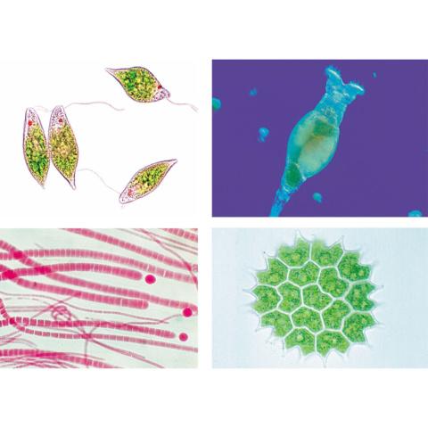 淡水の微生物,英語版