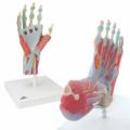 手足解剖セット