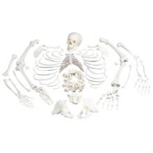 骨格分離モデル(全身)