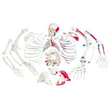 骨格分離モデル,筋表示型(全身)