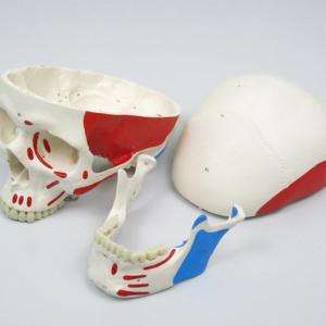 頭蓋冠,頭蓋底,下顎骨の3分解