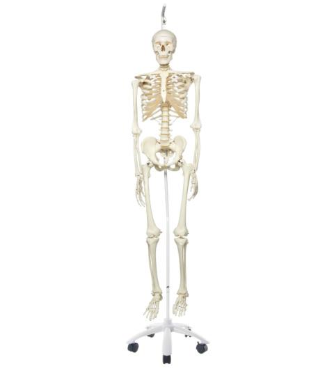 スタン・標準型骨格モデル,吊り下げ型スタンド仕様