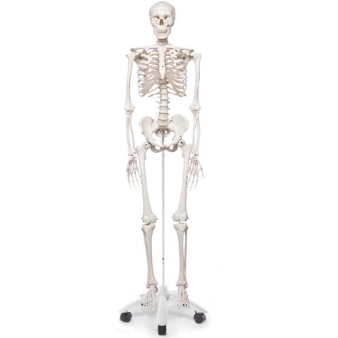 スタン・標準型骨格モデル,直立型スタンド仕様