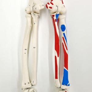橈骨・尺骨