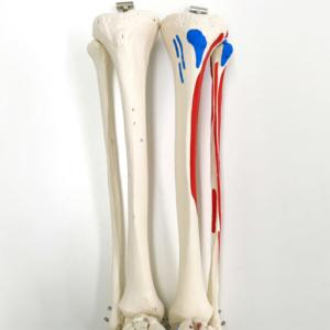脛骨・腓骨