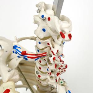 頚椎(頭蓋を取り外した状態)