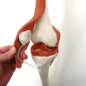 膝関節(靭帯付き)