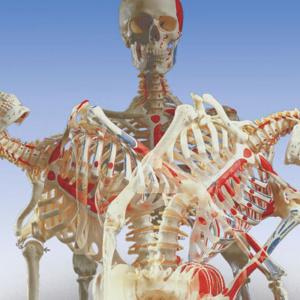脊柱の回旋・側屈