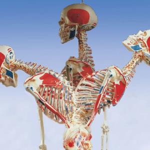 脊柱の前屈・後屈