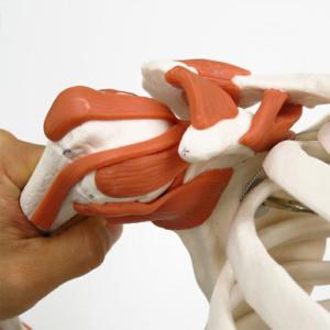 肩関節(靭帯付き)