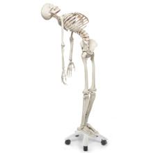 フレッド・骨格モデル,直立型スタンド仕様