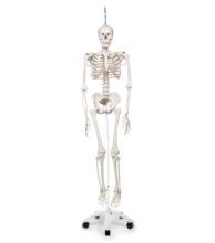フィル・理学療法用骨格モデル,吊り下げ型スタンド仕様