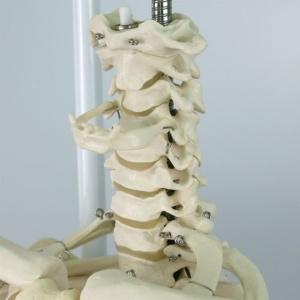 頚椎(頭蓋を取外した状態)