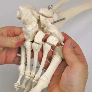 足の骨は伸縮するコードで連結