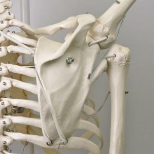 肩甲骨の可動