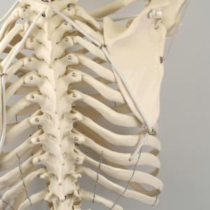 上肢の挙上に合わせて,肩甲骨が大きく動きます