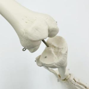 脛骨顆間隆起や脛骨粗面などの詳細も正確に再現