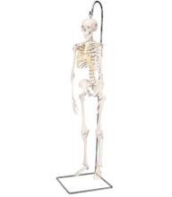ショーティー・1/2縮尺型全身骨格モデル,吊り下げスタンド仕様