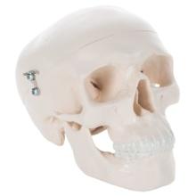 ミニスカル,1/2縮尺型頭蓋3分解モデル