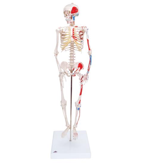 ショーティー・1/2縮尺型全身骨格モデル,筋・起始/停止色表示型,直立型スタンド仕様