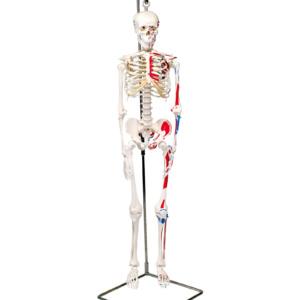 ショーティー・1/2縮尺型全身骨格モデル,筋・起始/停止色表示型,吊り下げスタンド仕様