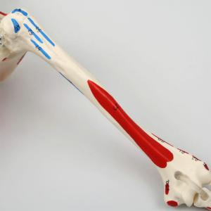 上腕骨:左