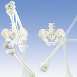 股の部分では屈曲/伸展,内転/外転