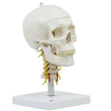 頭蓋,頚椎付,4分解モデル