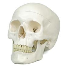 頭蓋,標準型モデル