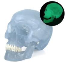 ネオン頭蓋モデル