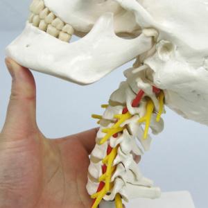 屈曲・伸展,側屈,回旋が可能