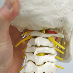 回旋時:環椎の動きを再現