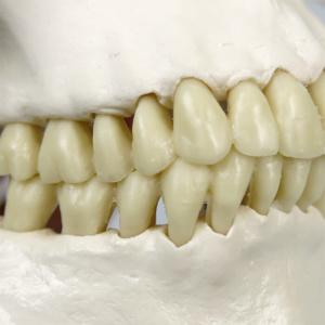 精巧に再現された歯