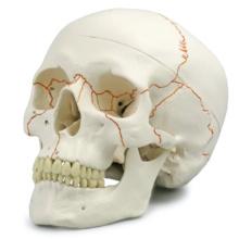 頭蓋,番号表示付,3分解モデル