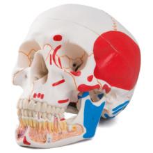 頭蓋,下顎開放・筋色表示,3分解モデル